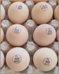 KOB 500 incubatory eggs