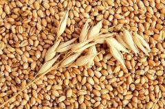 Wheat. Wheat wholesale Ukraine