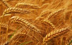 Wheat, grain