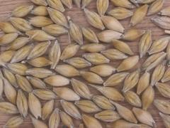 Barley in Ukraine