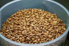 Barley. Barley in Ukraine wholesale