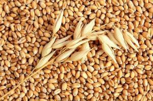 Grain. I will sell grain. Grain in Ukraine
