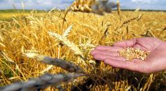 Barley. Grain. I sell grain