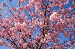 Cherry melkopilchaty (Oriental cherry)