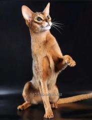 Abyssinian kittens wild and sorrel colors