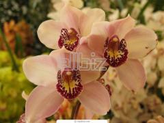Ахименес Цветы живые