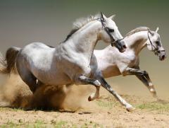Лошади племенные
