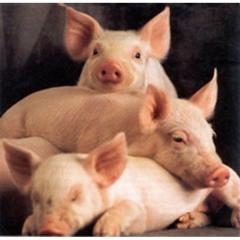 Feed additives for pigs across Ternopil and area