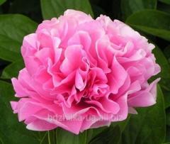 Пионы 'Carnation Bouquet'