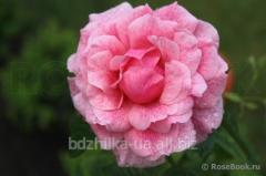 Роза Camelot
