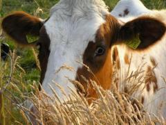 Products for cattle
