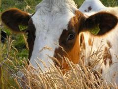 Продукты для крупного рогатого скота