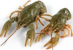 Crayfish live to wholesale at the best price in