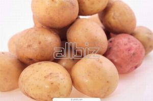 Potatoes high-yielding from the producer