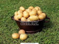 High-quality Potatoes
