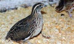 Compound feed for quails bkz