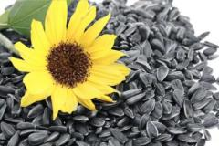 Kernel of seeds of sunflower oily grades