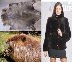 Skin, fur of beaver. Kiev