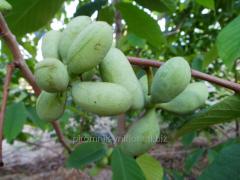 Саженцы азимины трилоба ,банановое дерево