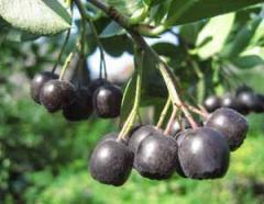 Saplings of mountain ash black-fruited, chokeberry