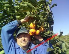 Saplings of persimmon winterhardy on virginsky