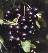 Berries, blackcurran