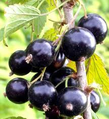 Blackcurrant, Berries, wholesale
