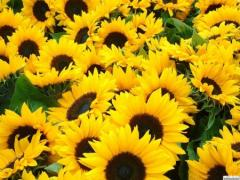 Sunflower of SERZhAN