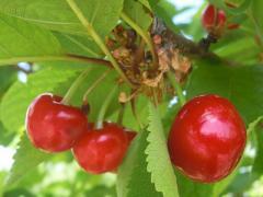 Саженцы вишни, Украина