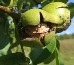 Саженцы деревьев грецкого ореха.