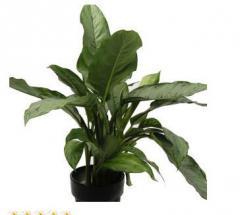 Растения комнатные АГЛАОНЕМА (AGLAONEMA).
