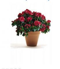 Растения комнатные  АЗАЛИЯ (AZALEA).