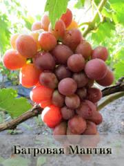 Саженцы ранних сортов винограда