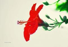 """Фотокартина """" Красный гибискус на белом"""