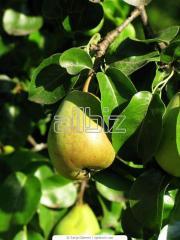 Саженцы плодовых деревьев, Купить Саженцы яблонь