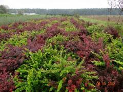 Japanese barberry to buy bush. Kiev.