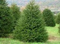 "Fir-tree ordinary ""Smereka"