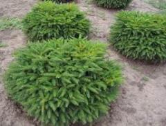 Fir-tree subauriculate