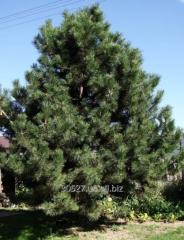 Pine black (Crimean)