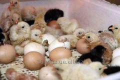 Цыплята Домашние (смешанные)