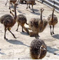 Черный африканский страус |Молодняк страусов в