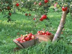 Яблоки - зимние сорта: Ренет - Симиренка, Фуджи,