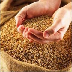 Выращивание зерновых, технических и прочих