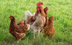 Цыплята яичной породы Ломан Браун