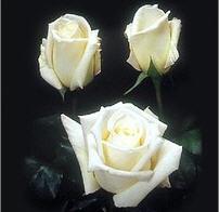 Купить розы оптом винница купить цветы ш иповника для лечения
