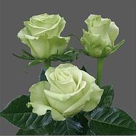 Розы белые, сорт Всемирный, WHITE Roses, Mondial,