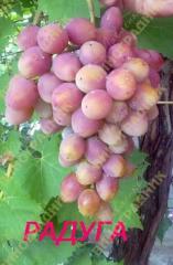саженцы винограда -  радуга