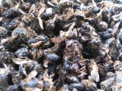 Bee subpestilence