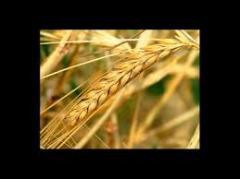 Зерновые продукты,выращивание