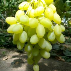 Саженец виноград сорт Ландыш